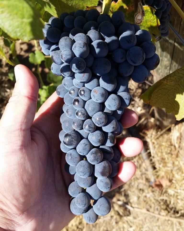 founder grapes